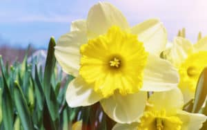 Spring flowers - daffodils - for the spring trivia and crossword puzzle. Image by Guble on Dreamstime Image