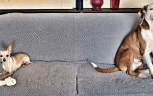 Training attention-seeking dogs: two dogs sitting far apart on sofa Image
