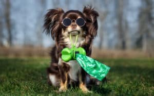 cute little chihuahua dog holding poop bags for Ask Cathy article on dog owners who drop poop bags on lawns Image