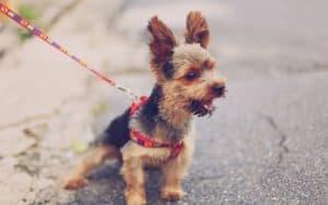 dog pulling on leash for