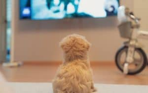 Dog watching TV for article on