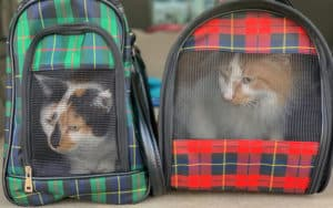 traveling with cats in a car kristen prahl dreamstime Image