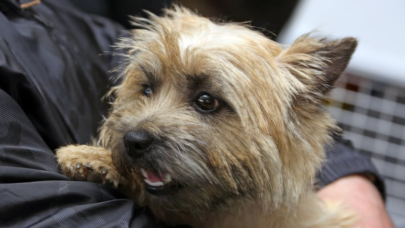 Cairn terrier in a person's arms, for a dog hates being picked up. Sergey Lavrenfev Dreamstime Image