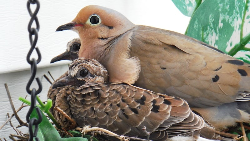 A mourning dove mother and babies in the nest. Watching a bird family in the nest Image