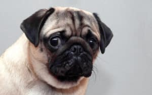 A frightened pug dog, for tips and calming a scared dog Image