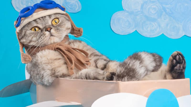 Cat dressed like an aviator in a pretend airplane, for
