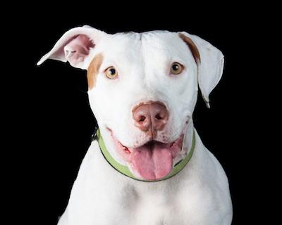 Friendly white passive pit bull terrier