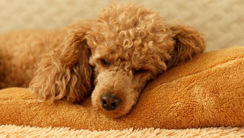Sad miniature poodle on dog bed, for Sad dog grieves dog pal's death Image