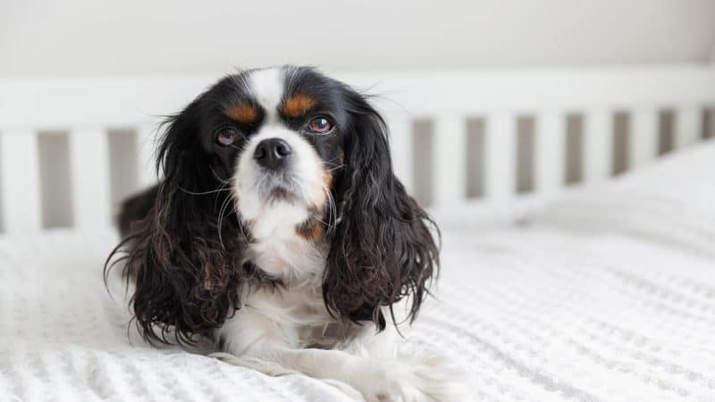 Cavalier King Charles Spaniel in bed for article on anxious dog has peeing problems after toddler visits Image