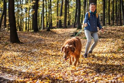 dog pulling on leash in autumn forest. Photo by zbynek pospisil dreamstime