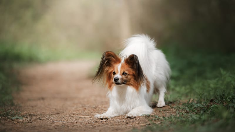 Papillon dog in a forest. Credit Annaav, Dreamstime. For Overprotective Rescue Dog Remedies Image