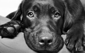 Sad Labrador dog for article on Clipping a skittish dog's nails Image