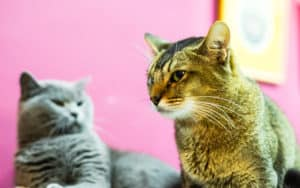 Two angry cats illustrating article: Cats spats in the house Image