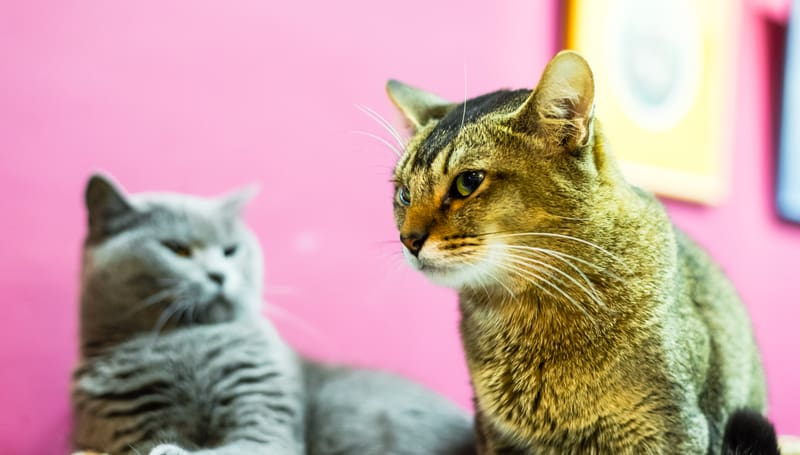 Two angry cats illustrating article: Cats spats in the house