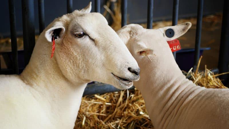 County fair sheep I mean Image