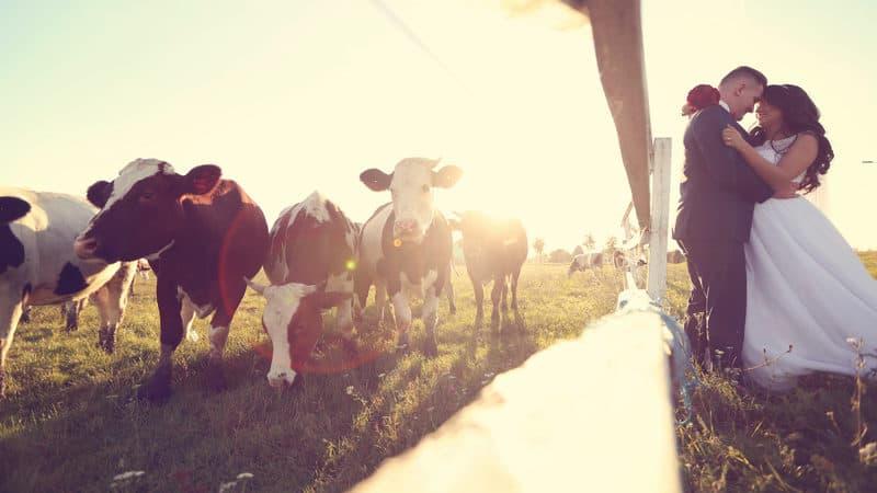 Wedding livestock guests Image