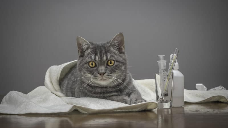 Sick cat in vet's office, credit Anna Nikonorova Dreamstime. For article, Receipts can poison your pet Image