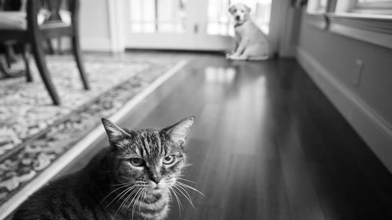 An unhappy cat and an intimidated dog. For article, when the grand-dogs come to visit. Diane Diederich Dreamstime Image