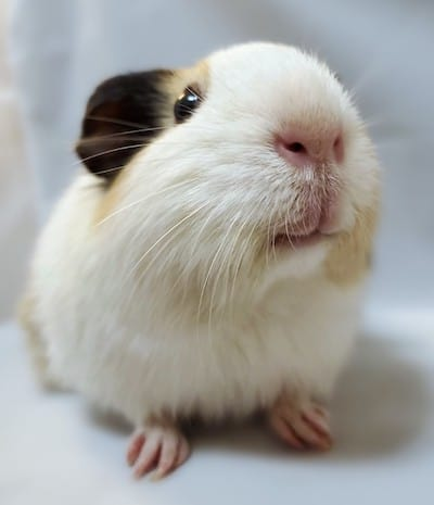 Willow the Guinea pig