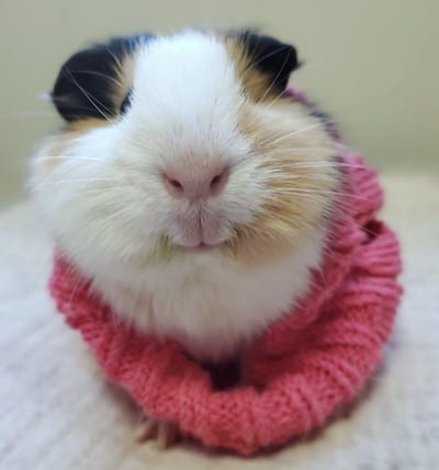 Willow the guinea pig in a sweater