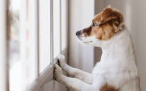 cute small dog at a window, credit Eva Blanco, dreamstime. For article, Advice on controlling barking dogs, Part 2 Image