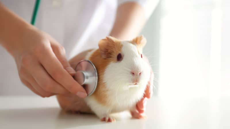 Hope forWillow the guinea pig Image