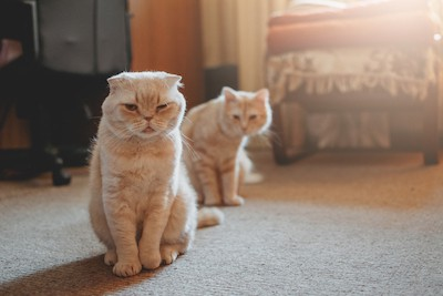 two cats - one mad, one looking on. photo credit: Irinayeryomind dreamstime