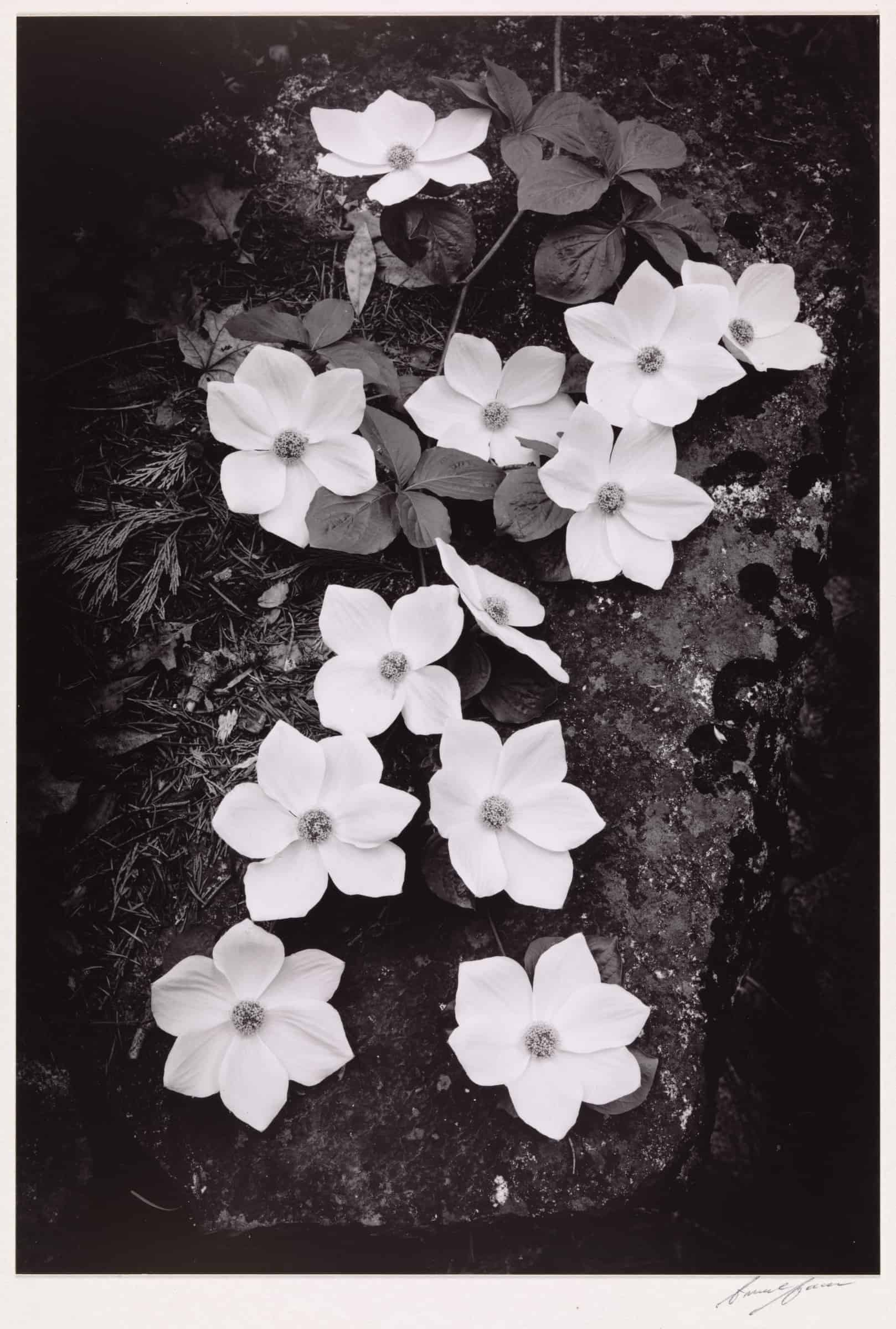 Ansel Adams: Compositions in Nature