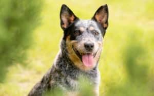 Australian blue heeler cattle dog Tkgraphicdesign Dreamstime. For article on Australian blue heeler who nips Image