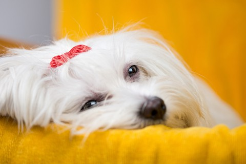 Sad Maltese dog