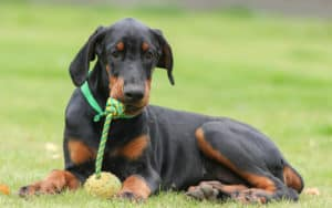 doberman with toy, photo credit pavel shlykov dreamstime. For article on A Dog Who Guards His Toy - Obsessively and Aggressively Image