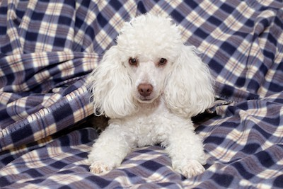 toy poodle Jagodka Dreamstime - for advice on dog aggressive toward wife but not to husband