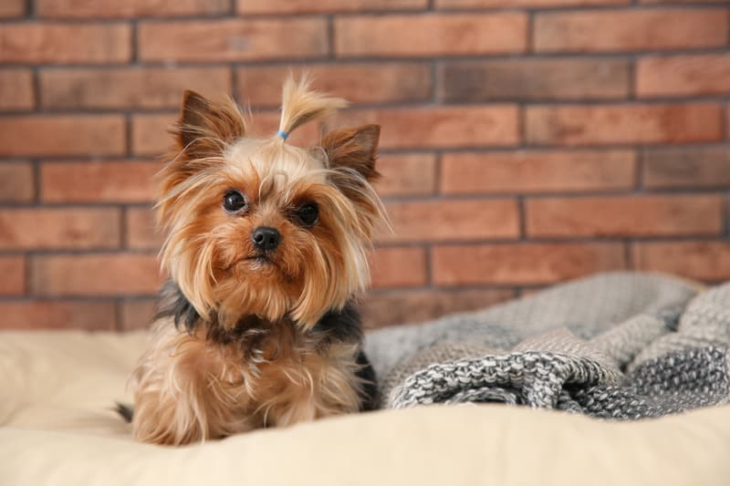 yorkie yorkshire terrier Chernetskaya Dreamstime. For article, What is the barking dog saying?