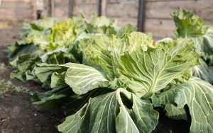 Cabbage (image from Premium Health), an inexpensive, low-calorie, and nutritious vegetable Image