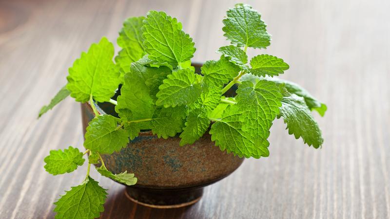 A lemon balm plant: Is lemon balm safe and effective for combatting stress? Image