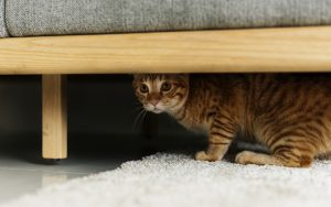 """scared cat hiding (Credit: rawpixelimages dreamstime) """"why is my 'grand cat' afraid of me?"""" Image"""